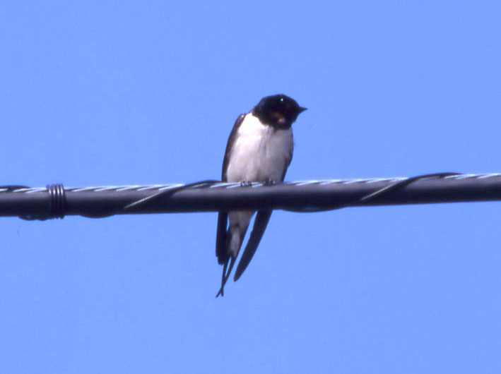swallow_on_wire_03