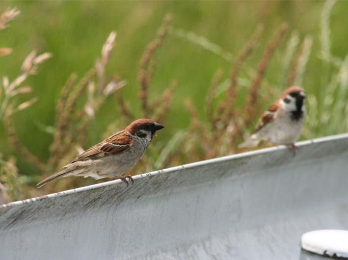 tree_sparrows_s