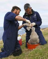 chatham_island_albatross_feeding_ch