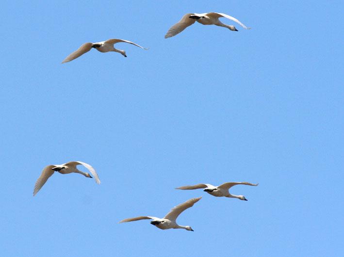 swan_flight