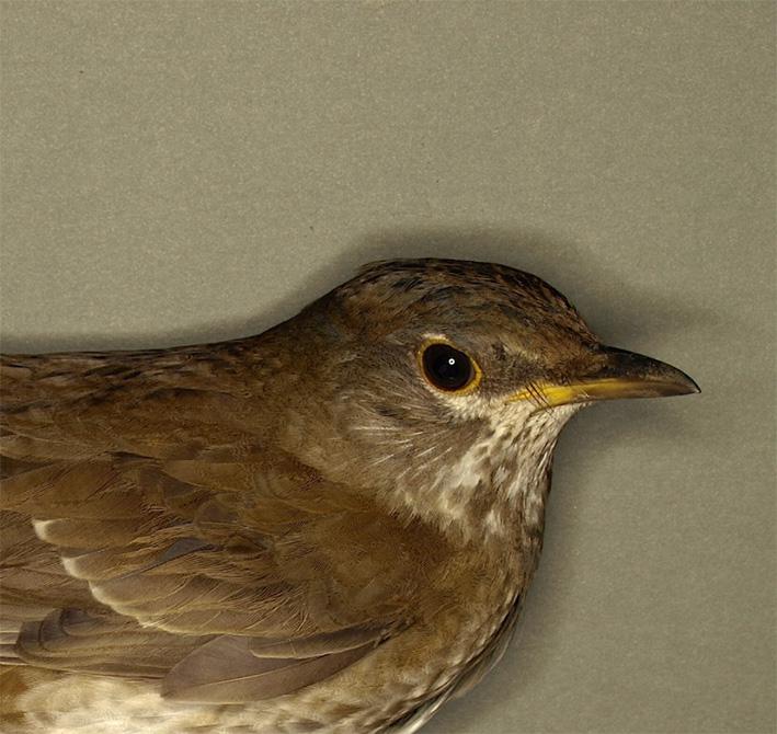 シロハラ_鳥学セミナー