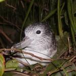6月のテーマトークは「オオミズナギドリの持ち時間ーノネコが激増する世界最大繁殖島・御蔵島の今ー」(6月11日(土))です